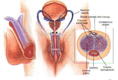 Male Enhancement Anatomy